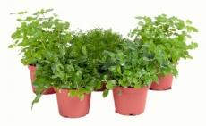 Mix Wiesenpflanzen