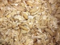 Bienenmaden Inhalt: ca. 20 Stück