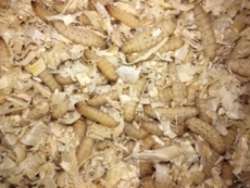 Bienenmaden Inhalt: ca. 30 Stück