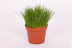 Festuca Gras - Futtergras fein