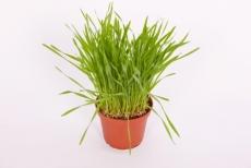 Futtergras Weizenkeim