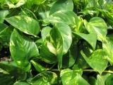 Kletterpflanzen Mix