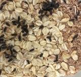 Asthmakäfer (Palembus ocularis) Zuchtansatz