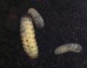Rosenkäferlarven ca. 10 Stück