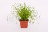 Echtes Katzengras - Cyperus zumula