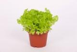 AsiaGreen und BabyLeaf Salate in Sorten